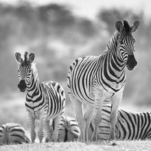 Dennis Wehrmann, Zebras im Makgadikgadi National Park (Botswana, Afrika)
