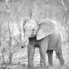 Dennis Wehrmann, Baby Elefant im Khwai Konzession Moremi Game Reserve (Botswana, Afrika)