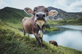 Maximilian Fischer, Curious Cow (Germany, Europe)