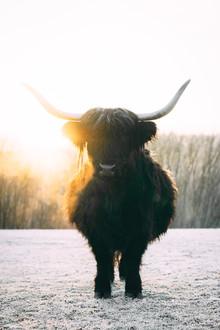 Patrick Monatsberger, Black Highland Cattle (Germany, Europe)