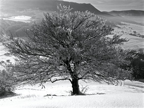 N. Von Stackelberg, vereister Baum in der Wintersonne (Germany, Europe)