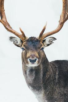 Patrick Monatsberger, Portrait of a Deer (Germany, Europe)