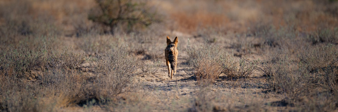 Dennis Wehrmann, fox in central kalahari game reserve (Botswana, Africa)