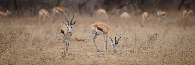 Dennis Wehrmann, Antilopes in Nxai Pan National Park (Botswana, Africa)