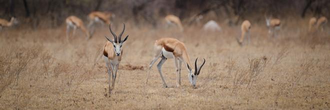 Dennis Wehrmann, Springbock im Nxai Pan National Park (Botswana, Afrika)