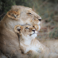 Dennis Wehrmann, mother`s love II (Botswana, Africa)
