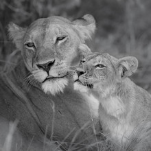 Dennis Wehrmann, Löwenmutter mit Jundem (Botswana, Afrika)