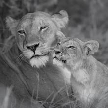Dennis Wehrmann, Lion mother with cub (Botswana, Africa)