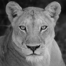 Dennis Wehrmann, Die Löwin (Botswana, Afrika)