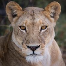 Dennis Wehrmann, Portrait einer Löwin II (Botswana, Afrika)