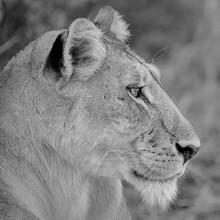 Dennis Wehrmann, Das Profil einer Löwin (Botswana, Afrika)