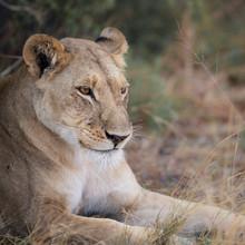 Dennis Wehrmann, Löwin im Gras (Botswana, Afrika)