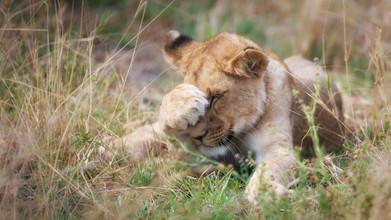 Dennis Wehrmann, Baby-Löwe (Botswana, Afrika)