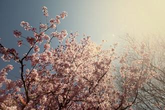 Nadja Jacke, Baum voller Kirschblüten im strahlenden Sonnenschein (Deutschland, Europa)