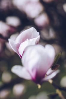 Nadja Jacke, Magnolia blossoms in the spring sun (Germany, Europe)