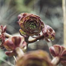 Nadja Jacke, Formentera Rose - Aeonium - moistened with raindrops (Spain, Europe)