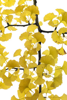 Tan Kadam, Ginkgo (Germany, Europe)