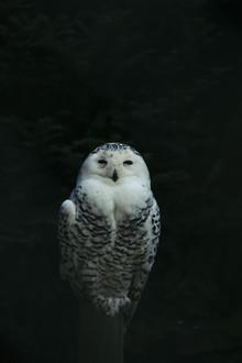 Nadja Jacke, Snowy Owl (Germany, Europe)
