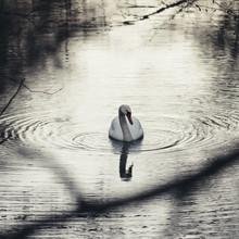 Nadja Jacke, Swimming swan in the winter (Germany, Europe)