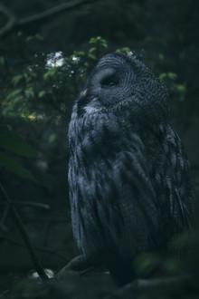 Nadja Jacke, A great grey owl at dawn (Germany, Europe)