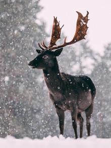 Sebastian 'zeppaio' Scheichl, Deer in the snow (Germany, Europe)
