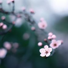 Steffi Louis, cherry blossom moments II (Deutschland, Europa)