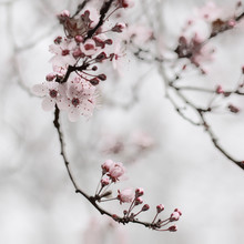 Steffi Louis, cherry blossom moments I (Germany, Europe)