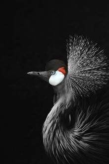 Monika Strigel, CROWNED CRANE (Spain, Europe)