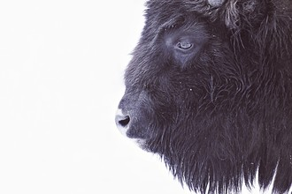 Monika Strigel, BLACK BUFFALO (Deutschland, Europa)