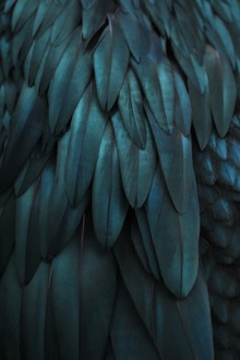 Monika Strigel, DARK FEATHERS TEAL (Germany, Europe)