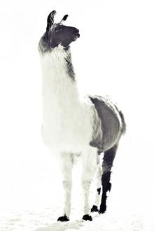 FLUFFY LAMA - Fineart photography by Monika Strigel
