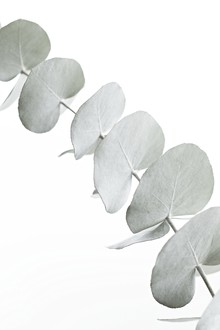 Monika Strigel, EUCALYPTUS WHITE (Deutschland, Europa)