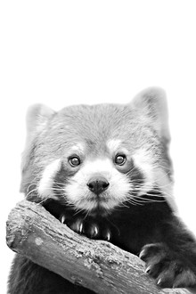 Monika Strigel, LITTLE RED PANDA (Deutschland, Europa)