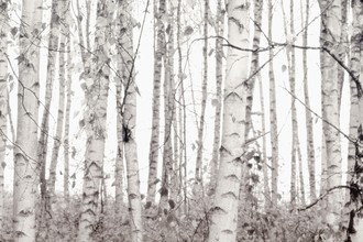 Monika Strigel, SILVER BIRCHES (Germany, Europe)