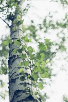 Nadja Jacke, Tender fresh birch foliage in spring (Germany, Europe)