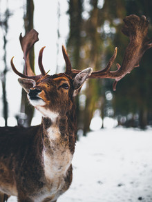 Deer Portrait - Fineart photography by Gergo Kazsimer