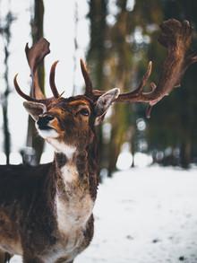 Deer Portrait - fotokunst von Gergo Kazsimer