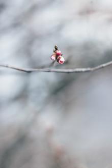 Nadja Jacke, Zarte Kirschblüten Knospen an einem Zweig (Deutschland, Europa)