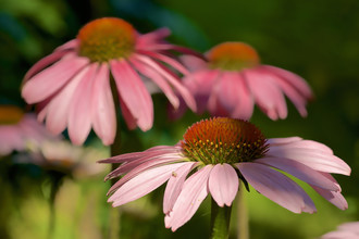 Doris Berlenbach-Schulz, Pink Echinacea Beauties (Italien, Europa)