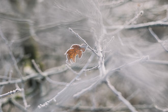 Nadja Jacke, Withered leaves on frosty branches (Germany, Europe)