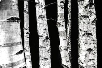 Mareike Böhmer, Birch Trees (Germany, Europe)
