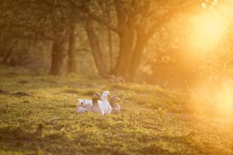 Nadja Jacke, Geese enjoy the evening sun (Germany, Europe)