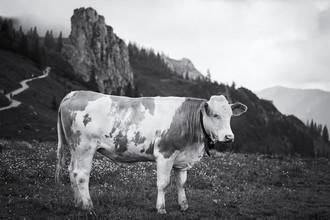 Roswitha Schleicher-Schwarz, cow (Germany, Europe)