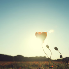 Nadja Jacke, Poppy flower in the sunset (Germany, Europe)