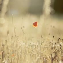 Nadja Jacke, Poppy in the cornfield in the warm sunlight (Germany, Europe)