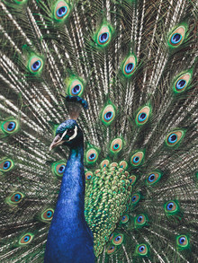 Peafowl Portrait - Fineart photography by Gergo Kazsimer