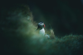Quentin Strohmeier, Puffy The Puffin (Iceland, Europe)