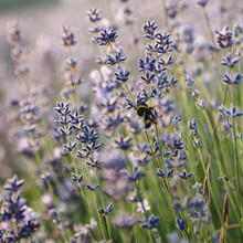Nadja Jacke, Blossoming lavender with bumblebee (Germany, Europe)