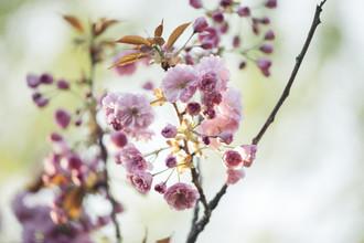 Nadja Jacke, Japanische Blütenkirsche blühend im Sonnenlicht (Deutschland, Europa)