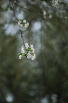 Nadja Jacke, blühende Felsen Kirsche im Frühjahr (Deutschland, Europa)